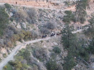 Mules on Bright Angel Trail