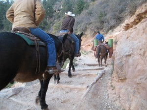 Mules head out of canyon, Bright Angel Trail