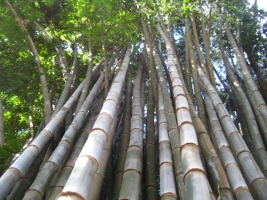 Looking up to the top of the bamboo