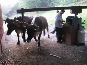 Oxen turning a device that crushed the sugar canes
