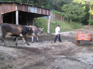 Oxen heading to stable