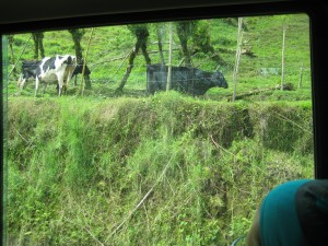 Cattle on way to Lake Arenal