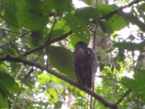 Horn-billed heron