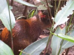 Agouti, small rodent with no tail