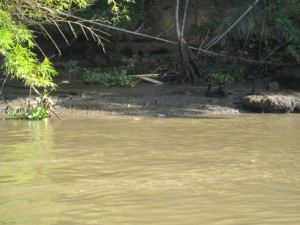 Crocodile on banks of Sierpe River
