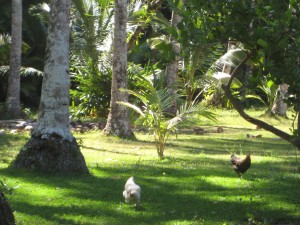 Roosters run through the grass
