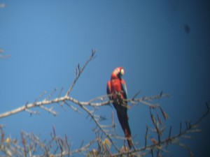 Scarlet Macaw on a treetop