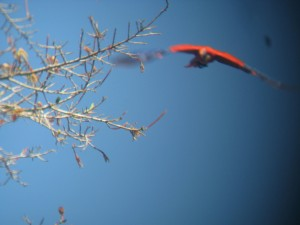 Scarlet Macaw takes flight
