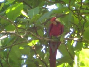 Spotting a scarlet macaw