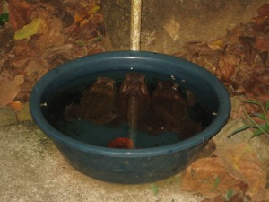 Look close to see three toads in Samson's water dish