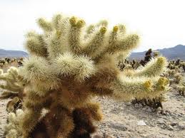 Cholla Cactus, Joshua Tree