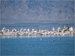 Salton Sea Birds