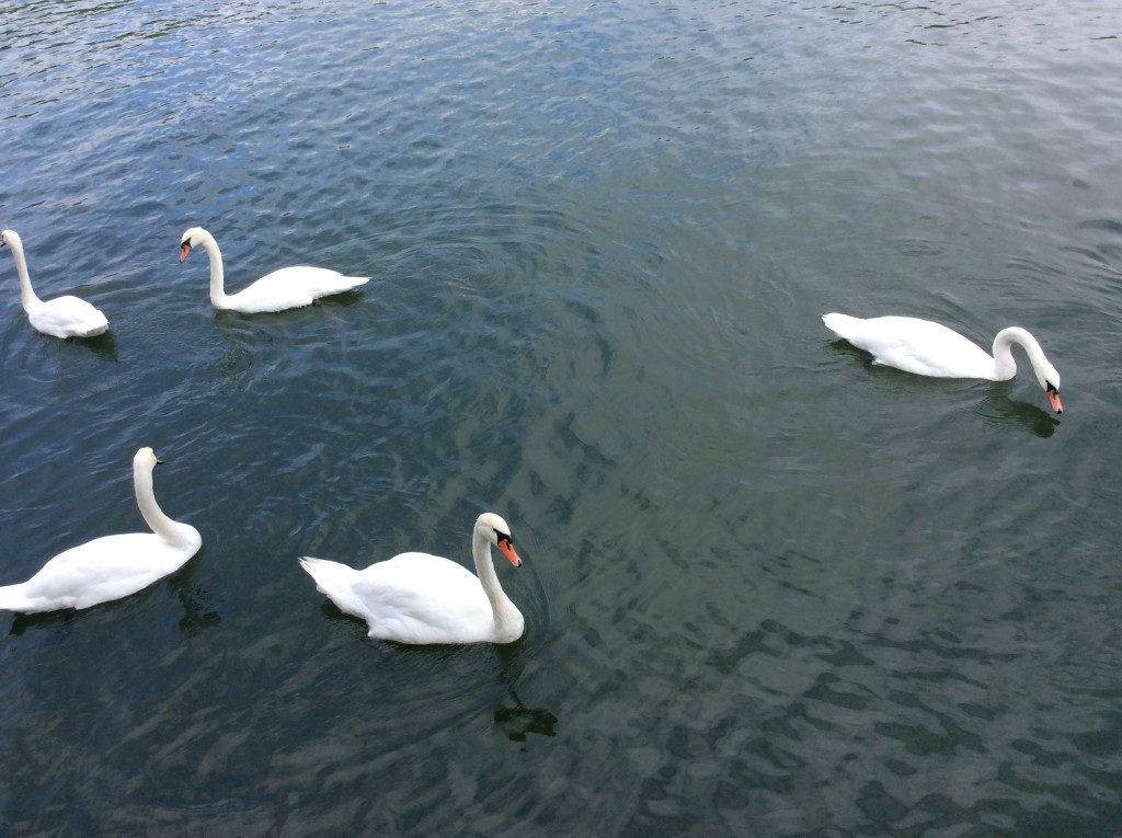 Swans on the Seine outside my stateroom window